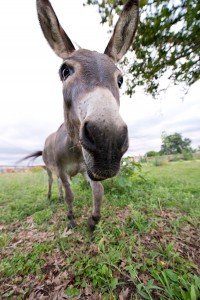 Gertrude, the resident donkey at WLLC. Photo credit- Woody Welch